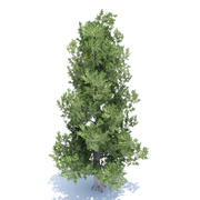 White Bark Pine Tree 3d model