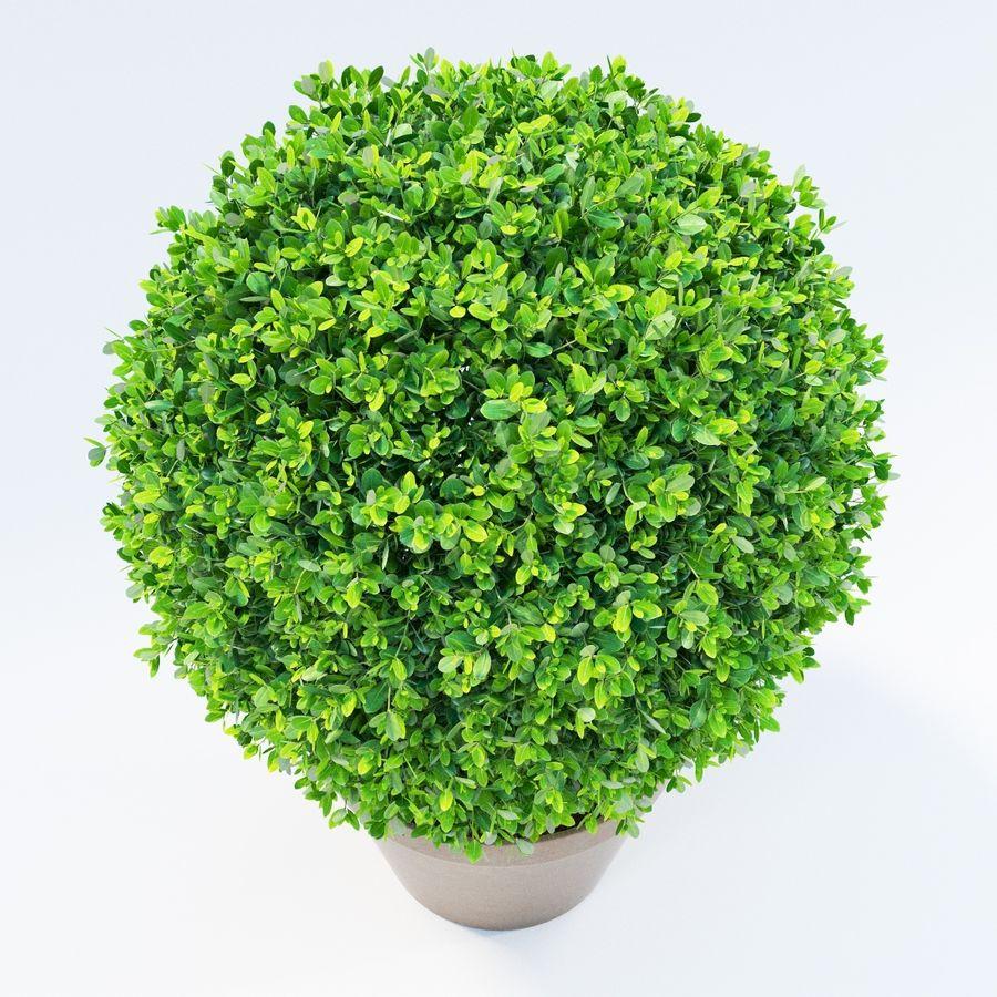 Spherical Boxwood Bush royalty-free 3d model - Preview no. 4