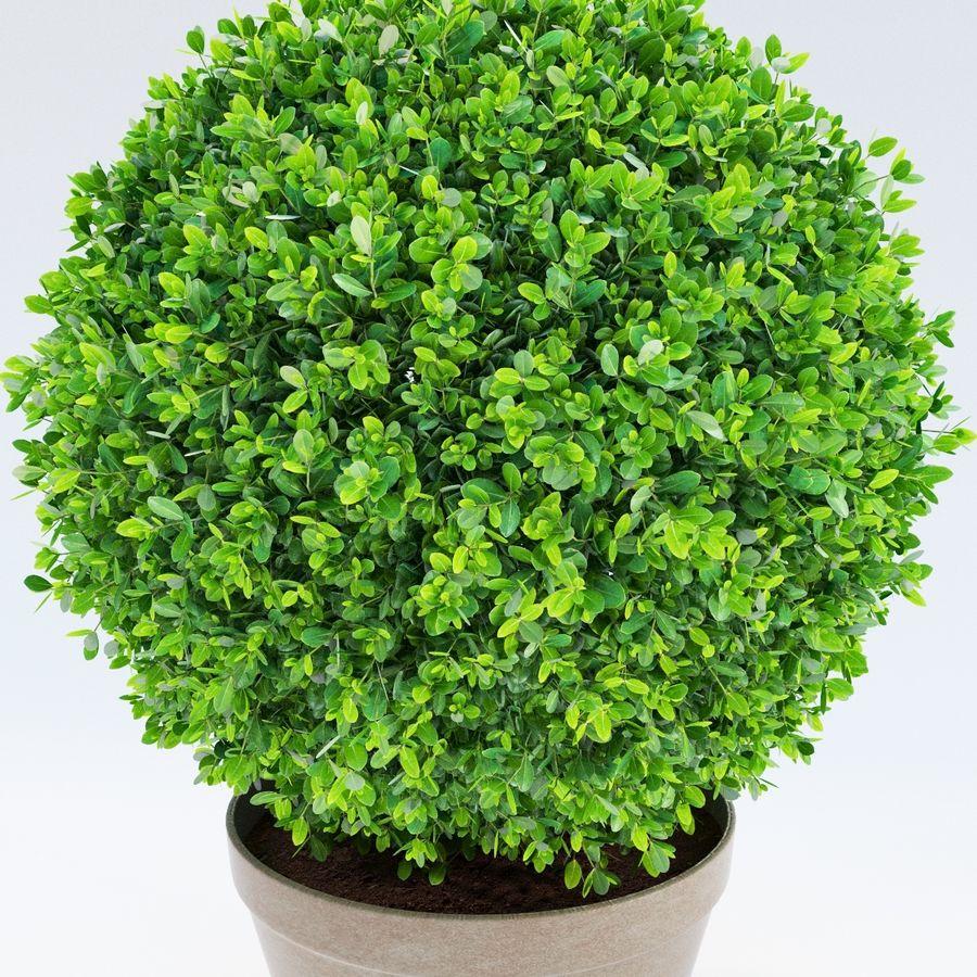 Spherical Boxwood Bush royalty-free 3d model - Preview no. 6