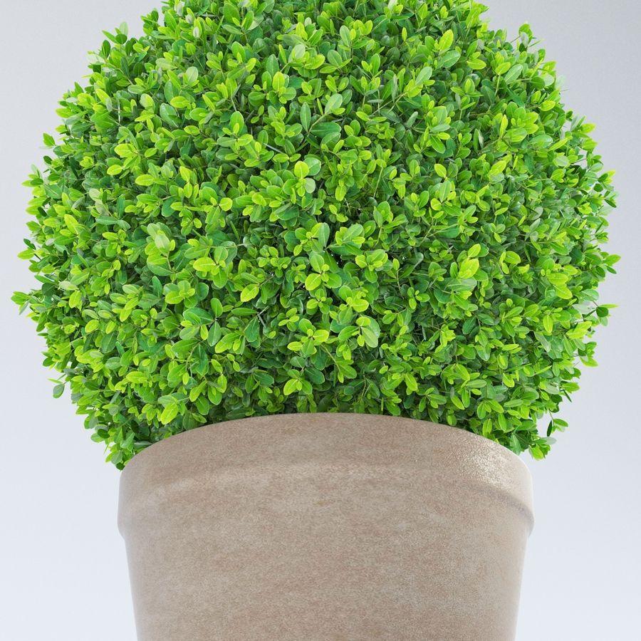 Spherical Boxwood Bush royalty-free 3d model - Preview no. 3