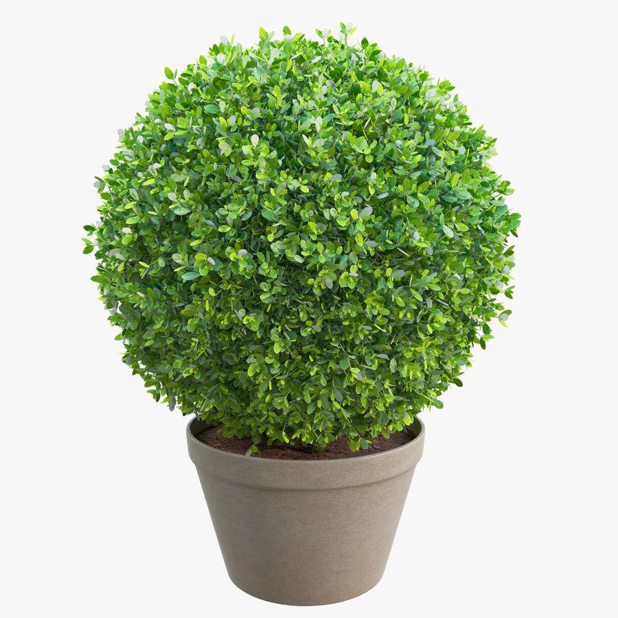 Spherical Boxwood Bush royalty-free 3d model - Preview no. 1