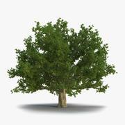 红橡老树夏天 3d model