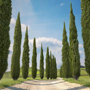 Cypress Tree Collection 3d model