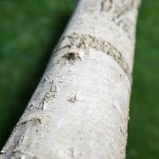 Asset di corteccia di albero di carta bianca 3d model