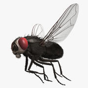 "Musca Domestica ""Black House Fly"" 3d model"
