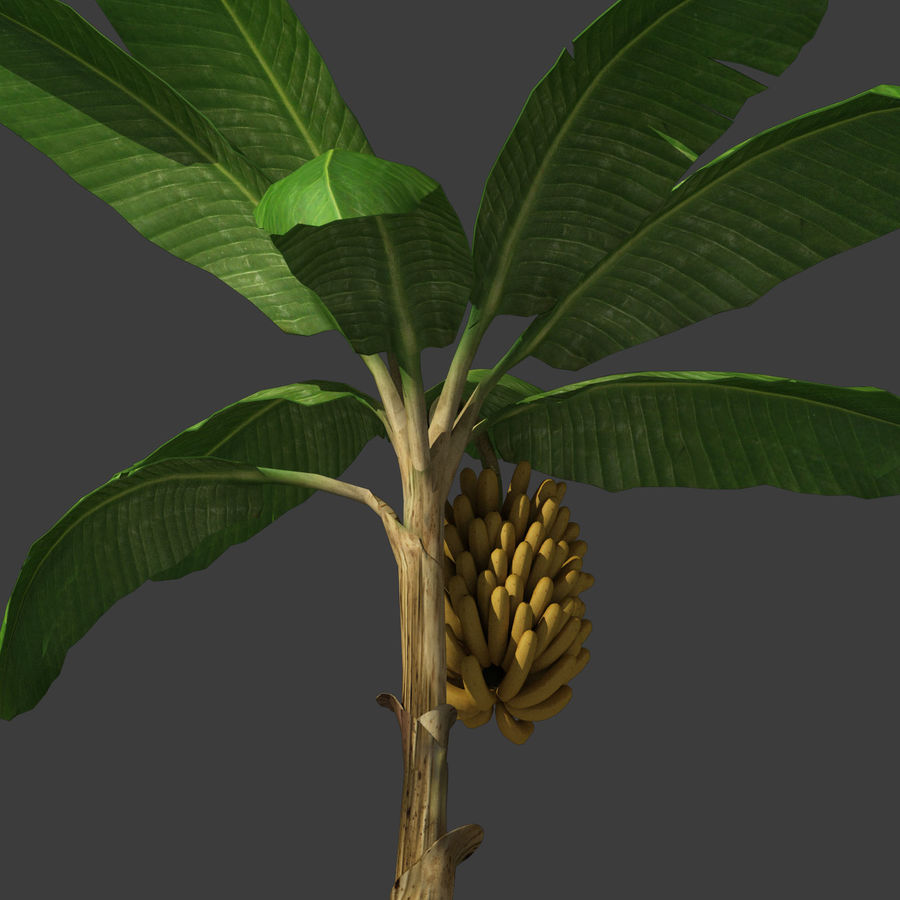 Banana Plant royalty-free 3d model - Preview no. 18