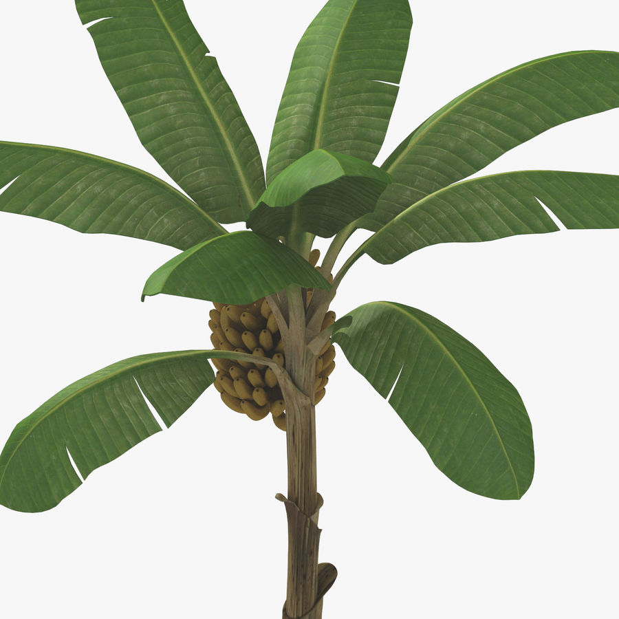 Banana Plant royalty-free 3d model - Preview no. 19