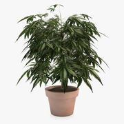 Planta de Ganja en maceta interior modelo 3d