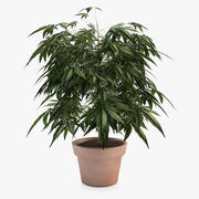 Indoor Potted Ganja Plant 3d model