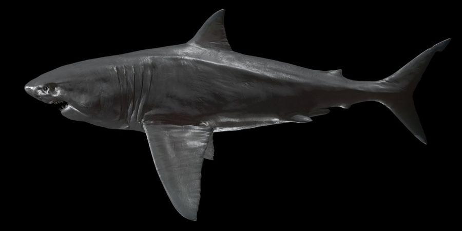 Grande squalo bianco royalty-free 3d model - Preview no. 9