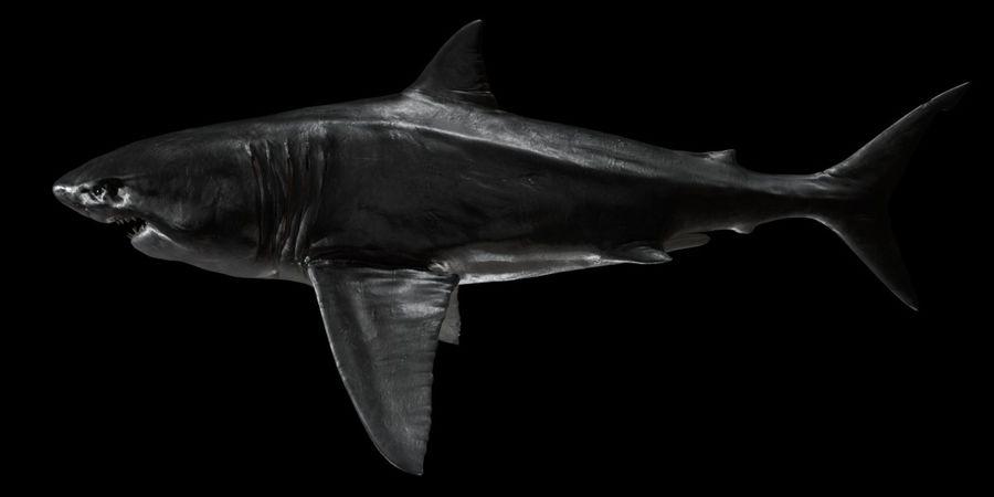 Grande squalo bianco royalty-free 3d model - Preview no. 10