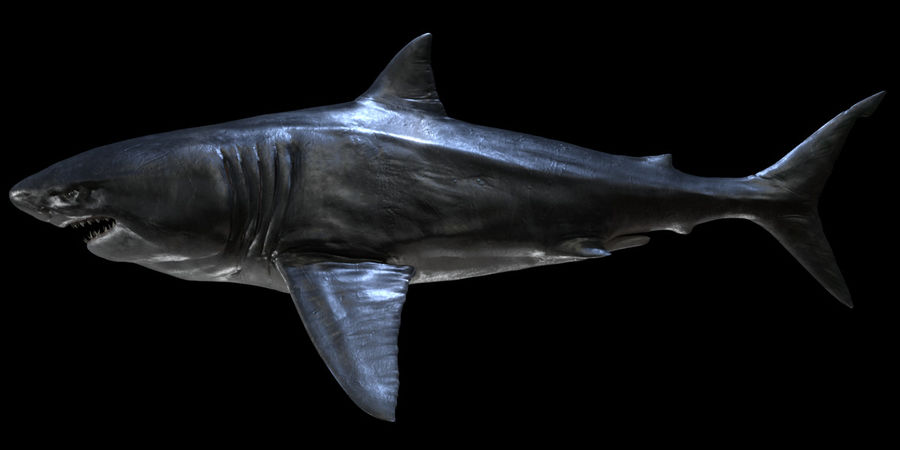Grande squalo bianco royalty-free 3d model - Preview no. 16