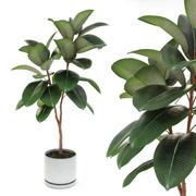 Ficus elastica decora medium 3d model