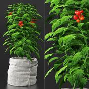 Pomidorowa roślina w torbie 3d model