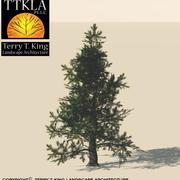 Colorado Spruce 3d model