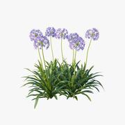 Agapanthus Africanus flower 3d model