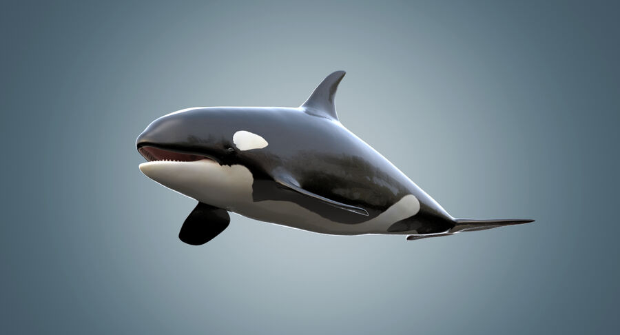 Killer Whale royalty-free 3d model - Preview no. 4