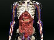 Menselijke interne organen 3d model