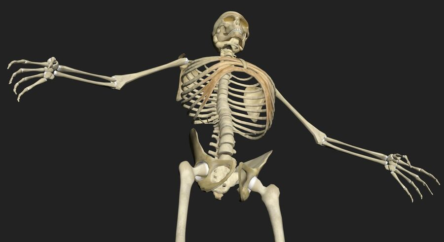 Man med skelett 3DSmax royalty-free 3d model - Preview no. 5