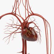 Système circulatoire 3d model