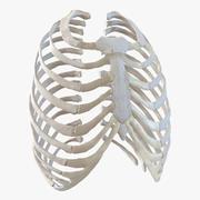 Weibliches Ribcage-Skelett 3d model