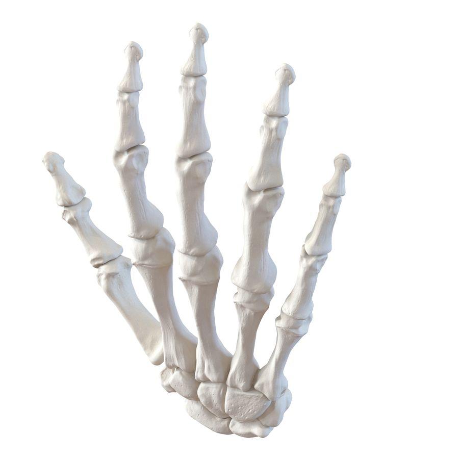 Human Hand Bones royalty-free 3d model - Preview no. 5