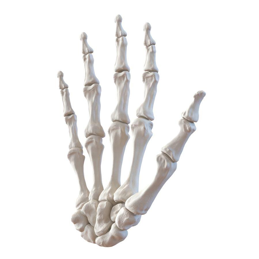 Human Hand Bones royalty-free 3d model - Preview no. 3
