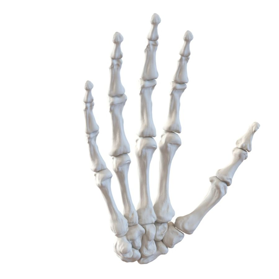 Human Hand Bones royalty-free 3d model - Preview no. 2