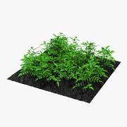 Młode rośliny pomidora w ogrodzie 3d model
