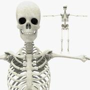 Skelett 3d model