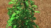 Planta de tomate modelo 3d