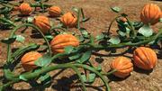 호박 식물 3d model