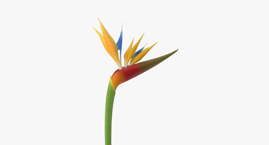 Bird of Paradise - Single Standing royalty-free 3d model - Preview no. 7