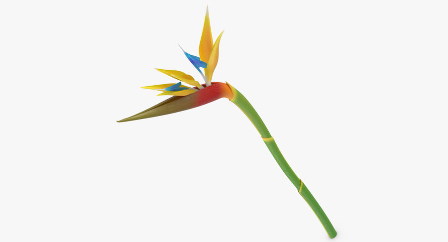 Bird of Paradise - Single Standing royalty-free 3d model - Preview no. 3
