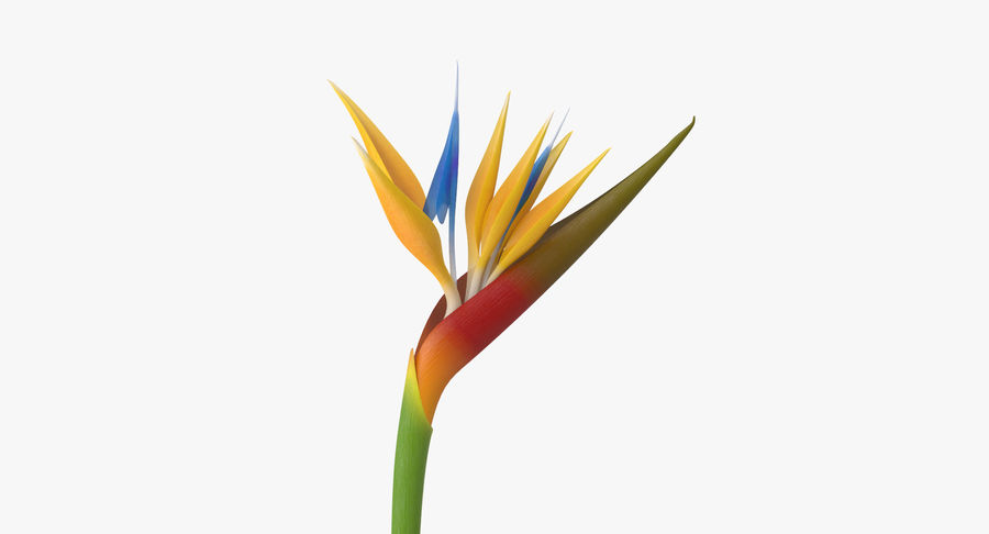 Bird of Paradise - Single Standing royalty-free 3d model - Preview no. 8