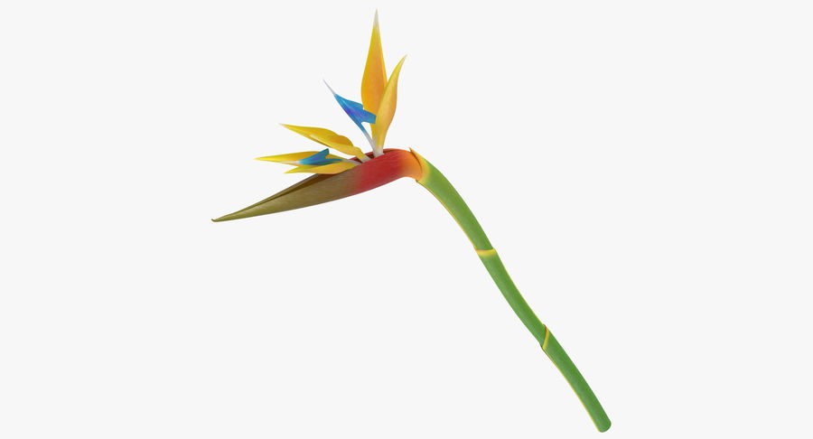 Bird of Paradise - Single Standing royalty-free 3d model - Preview no. 2