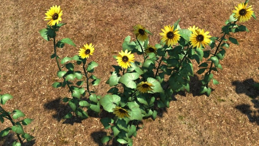 Sunflower plant royalty-free 3d model - Preview no. 4