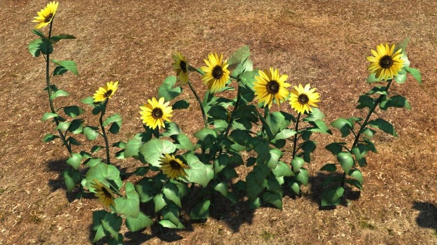 Sunflower plant royalty-free 3d model - Preview no. 3