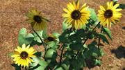 Sunflower plant 3d model