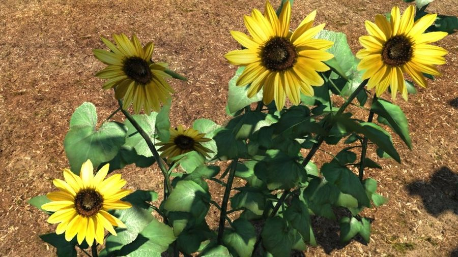 Sunflower plant royalty-free 3d model - Preview no. 1
