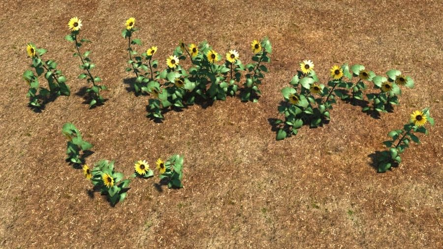 Sunflower plant royalty-free 3d model - Preview no. 2