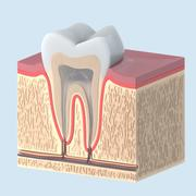 Anatomía del diente modelo 3d