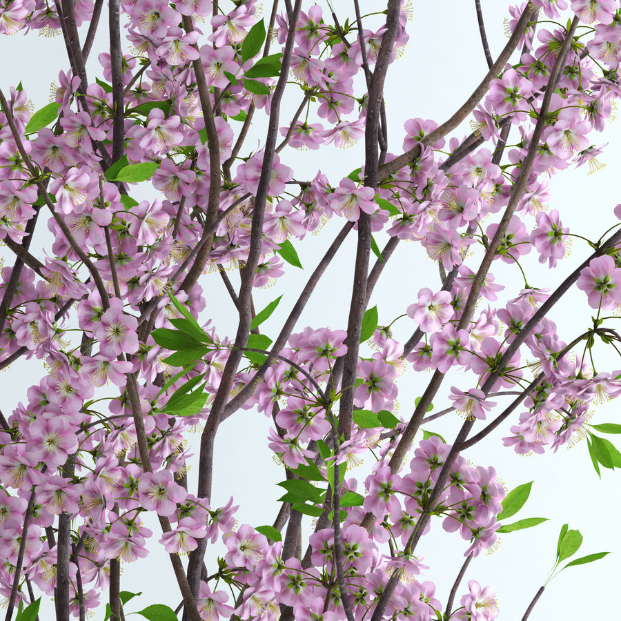Cherry Blossom royalty-free 3d model - Preview no. 2