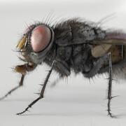 mosca domestica 3d model