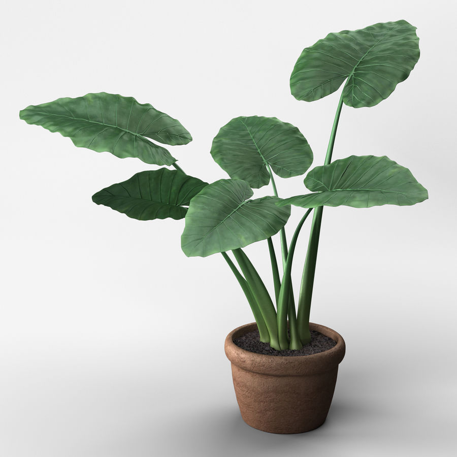 Alocasia Plant royalty-free 3d model - Preview no. 1