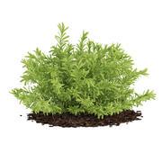 Thin Leaves Sedum Plant (Sedum album) 3d model