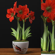 flowers red amaryllis 3d model