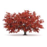 Acero giapponese (Acer Palmatum) 3d model