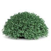 圆黄杨木植物(Buxus sempervirens) 3d model