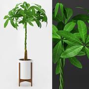 Umbrella Plant - Schefflera 3d model